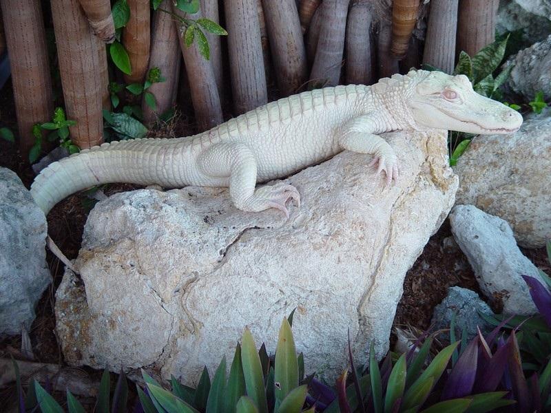 16-Крокодил-альбинос