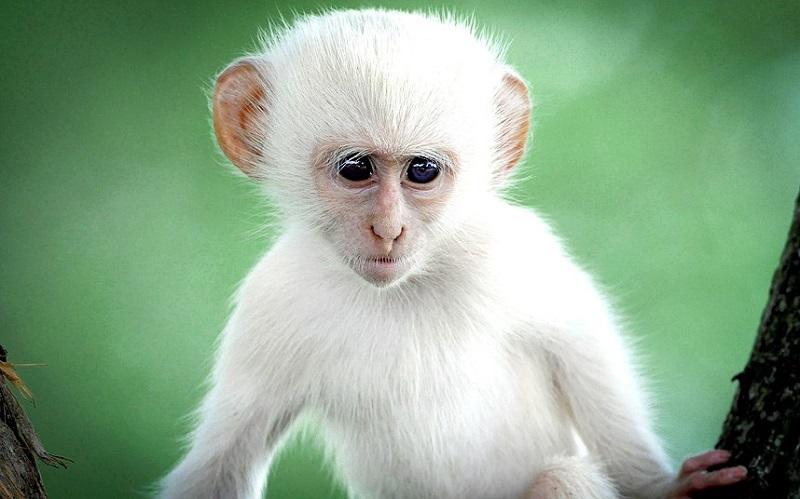26-Обезьяна с частичным альбинизмом