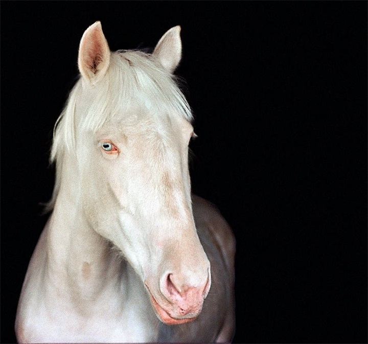 8-Лошадь-частичный альбинос