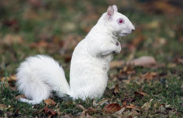 albino-squirrel_1501531i