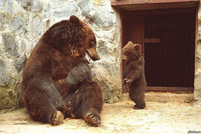 smeshnoy-medved-4