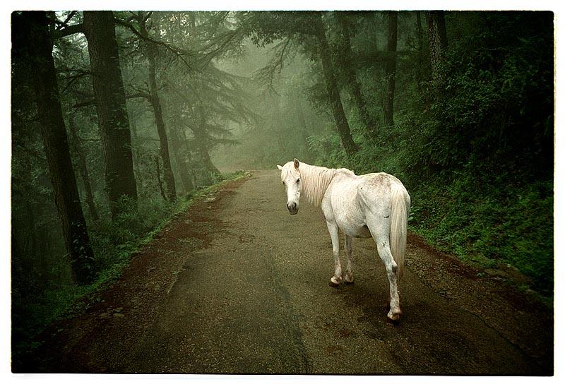 India, Dharamsala, 15-08-1996 Wit paard in mistig bos in de heuvels rondom McLeod Ganj, verblijfplaats van de Dalai Lama. Foto: Henk Braam/Hollandse Hoogte