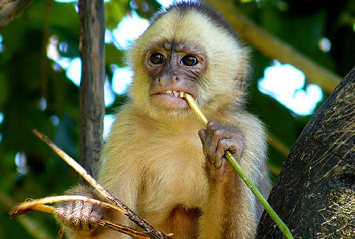 White-fronted-Capuchin-Cebus-albifrons