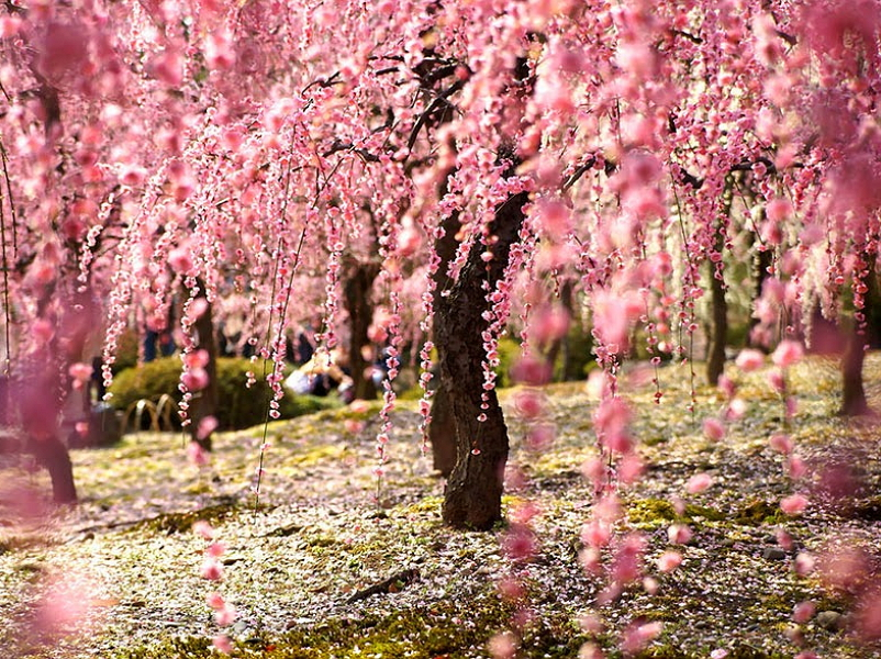 Цветение-сакуры