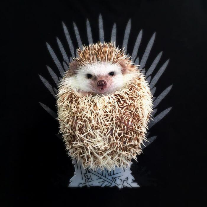 vampire-hedgehog-fangs-hodge-huffington-3