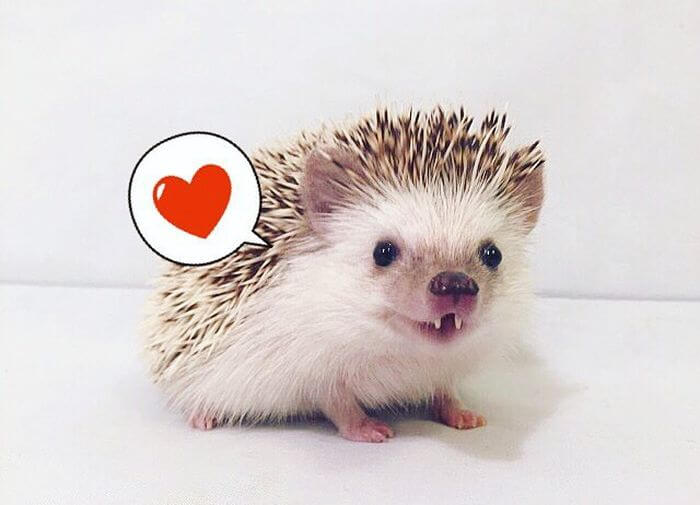 vampire-hedgehog-fangs-hodge-huffington-4