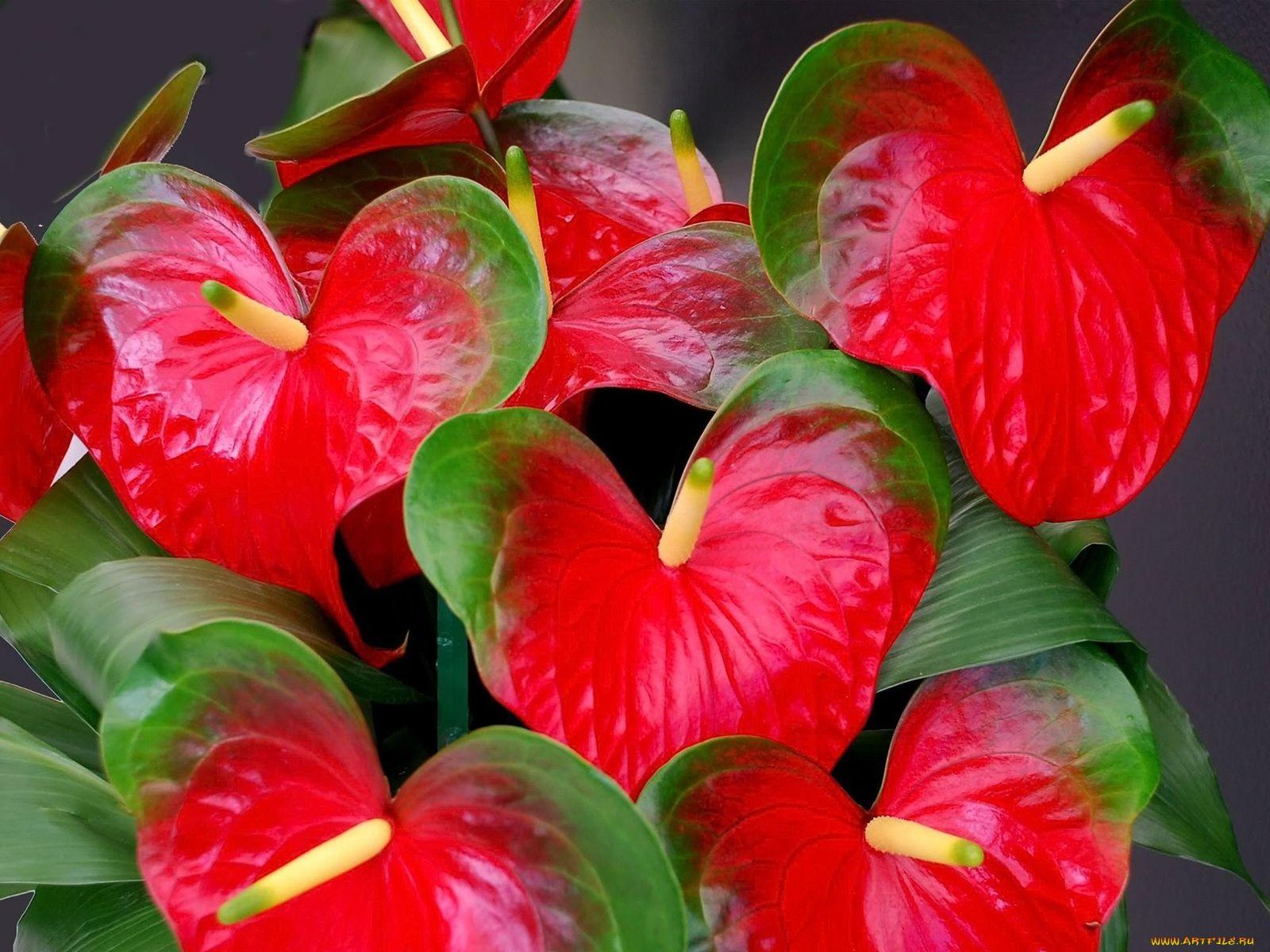 Значение цветка антуриум