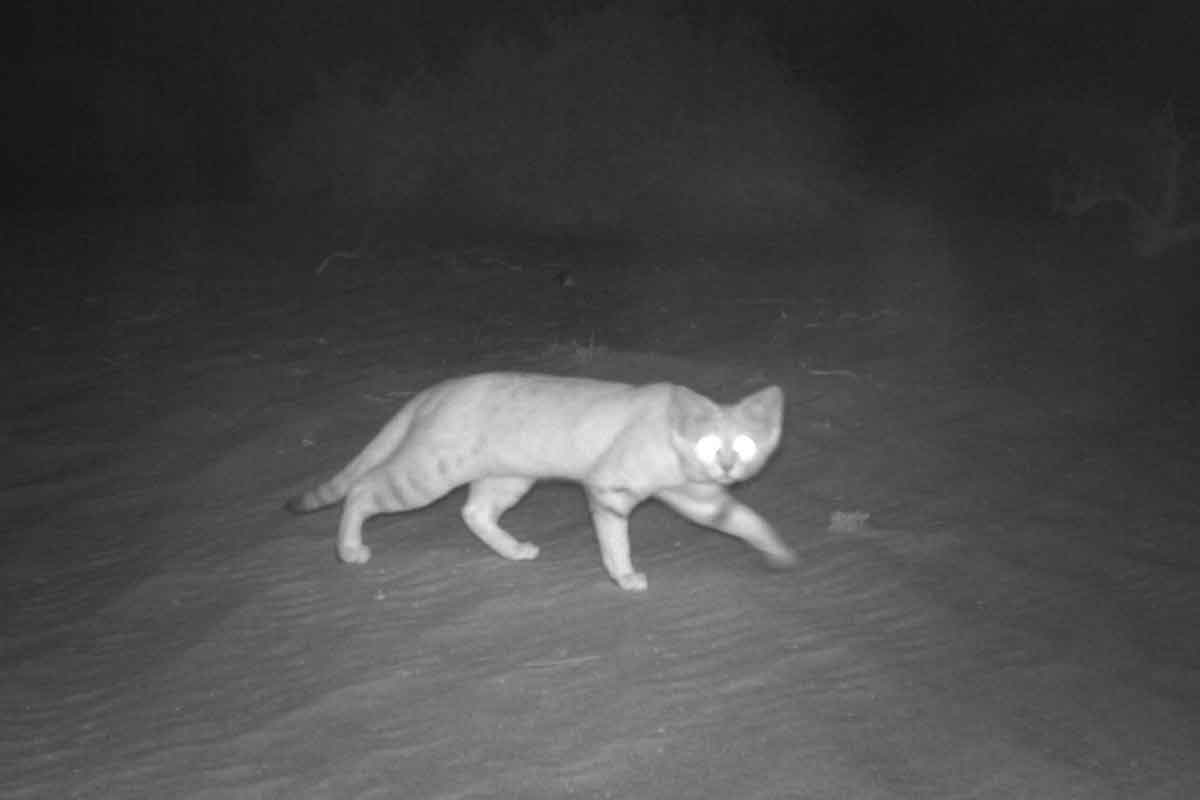 sand-cat-photo-environment-agency-abu-dhabi