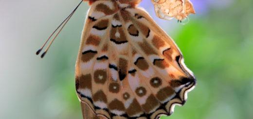 butterfly__pupa